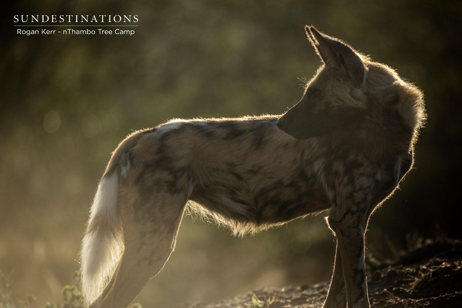 Frenzied Wild Dogs Fervently Devour an Impala Kill