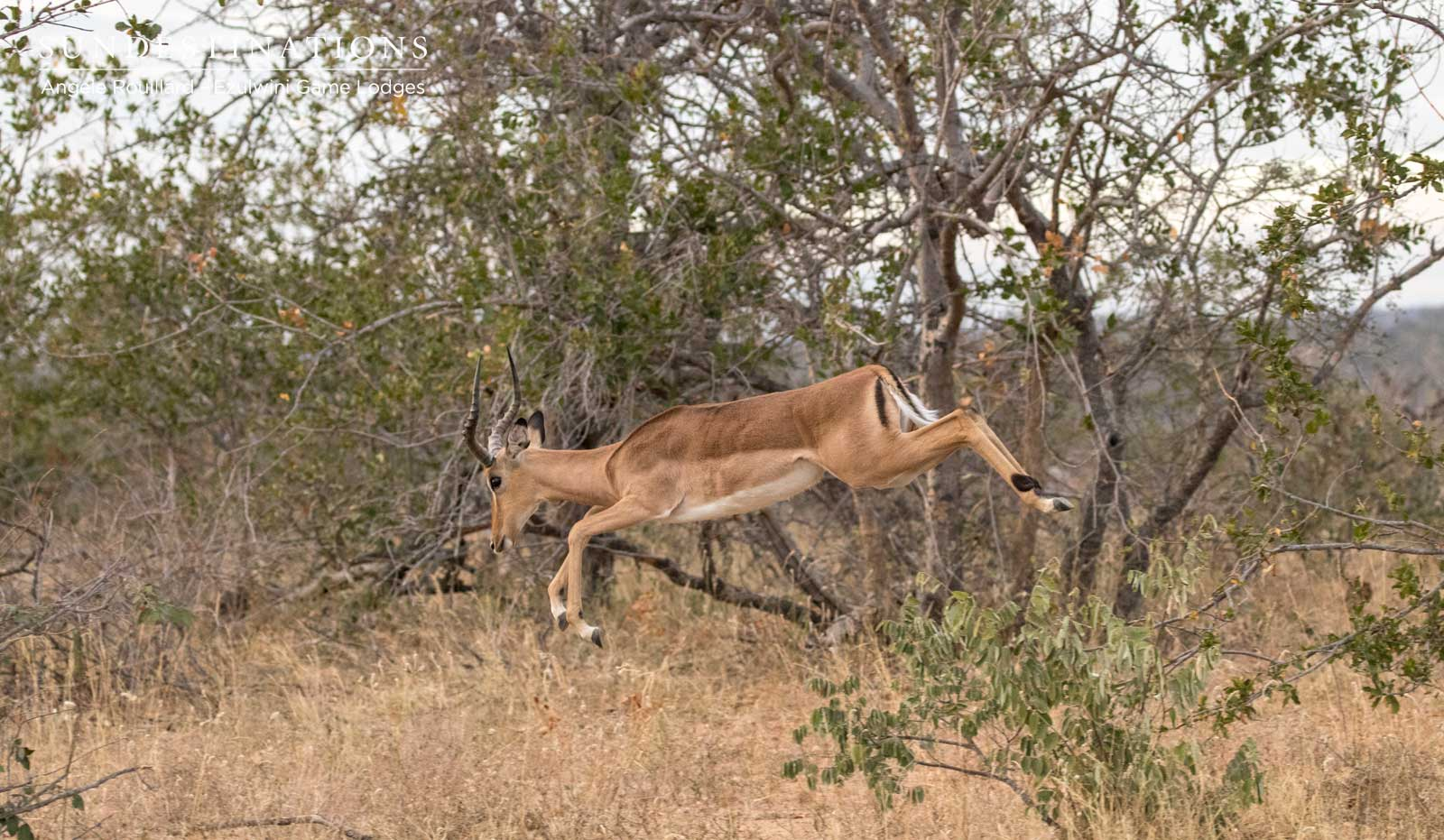 Impalas in the Balule Nature Reserve