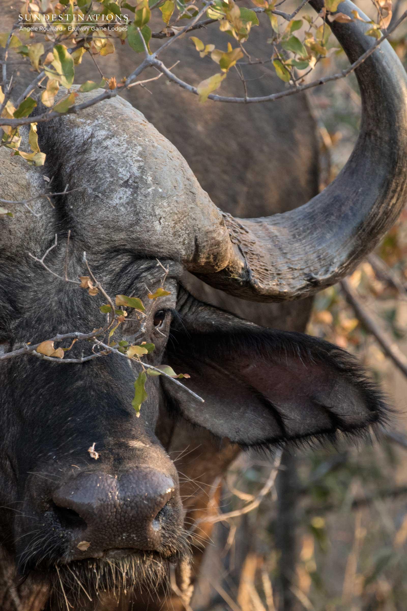 Buffalo Herd at Ezulwini