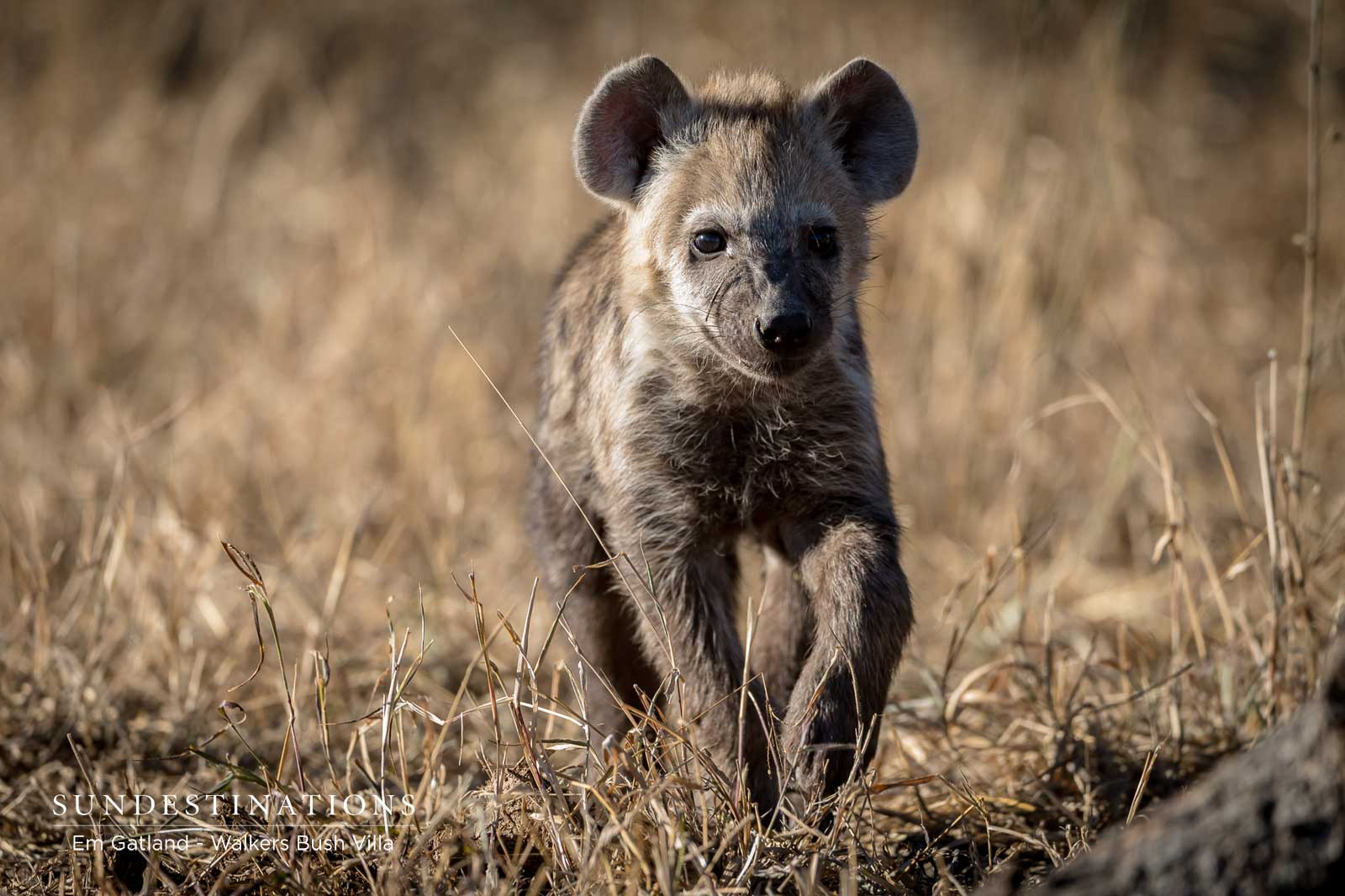 Young Hyena Spotted While on Drive