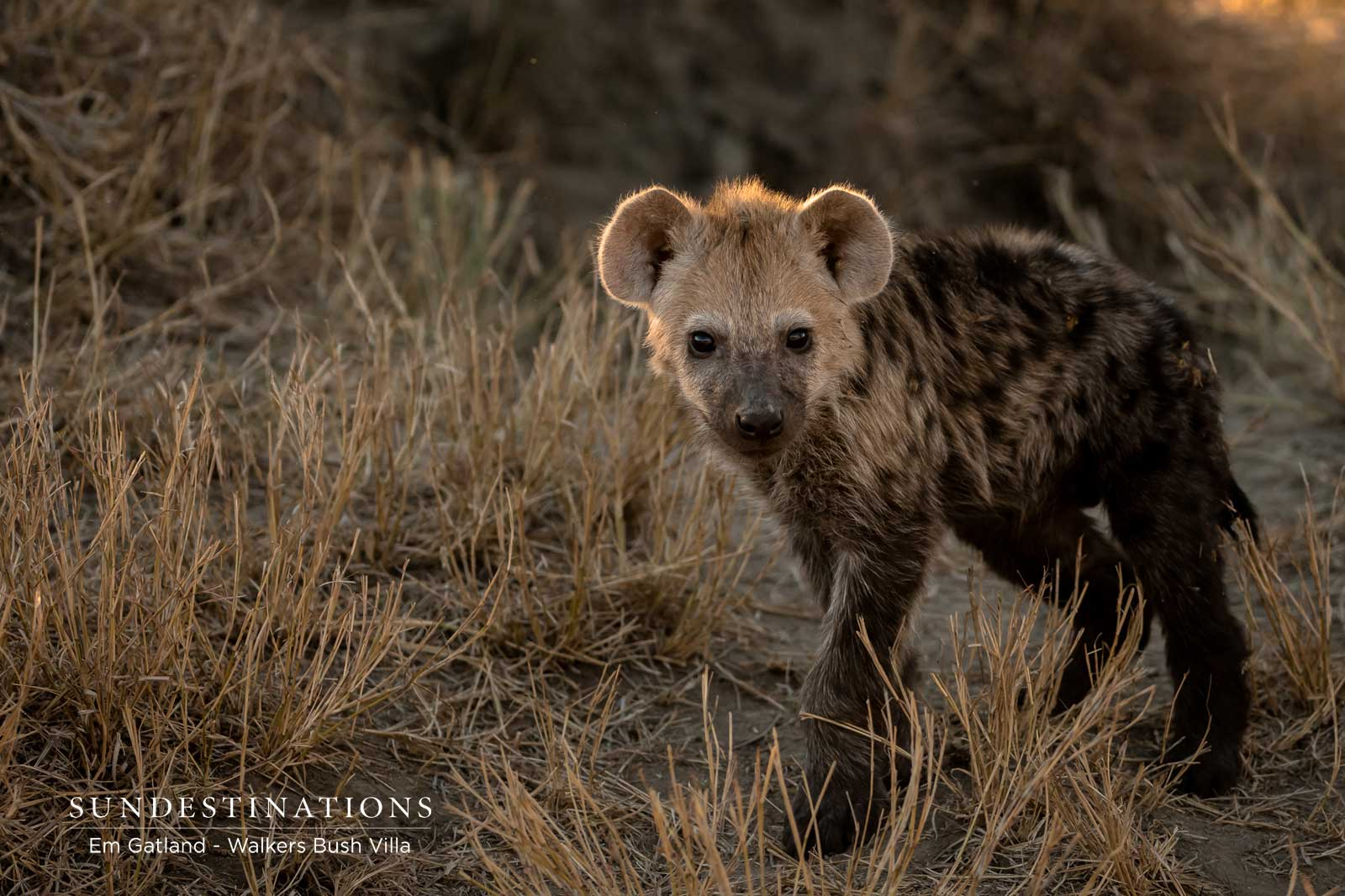 Young Hyena Cub in the Wild