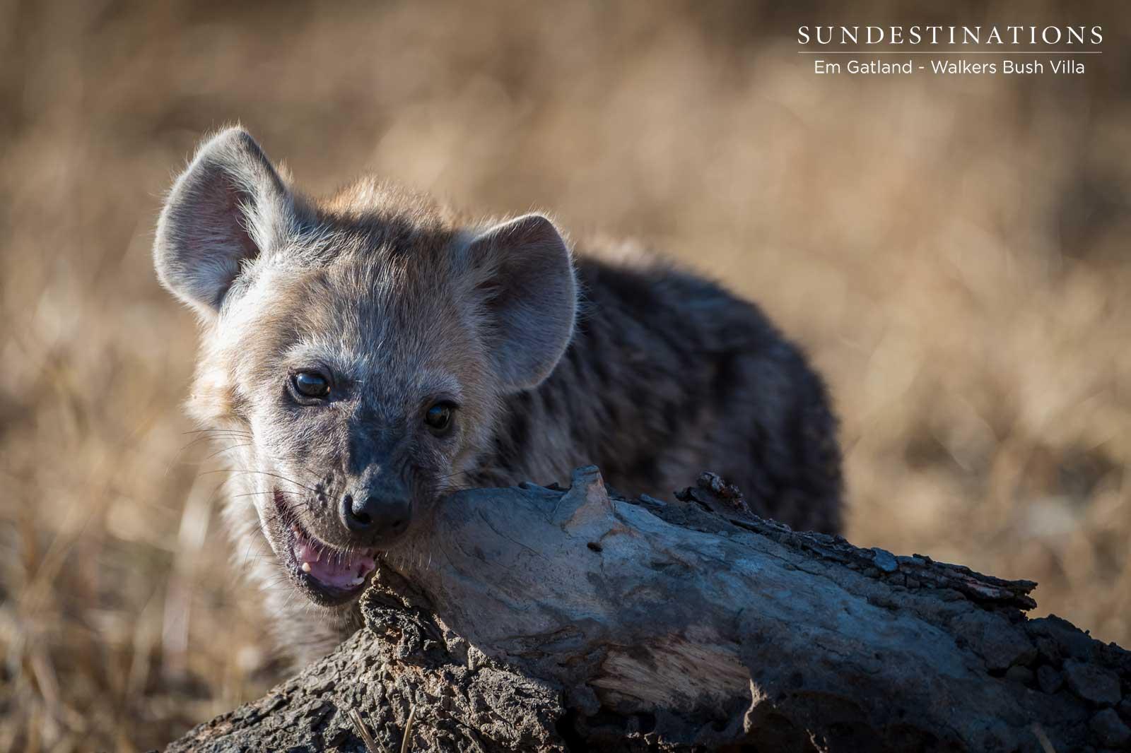 Walkers Bush Villa Hyena Cub