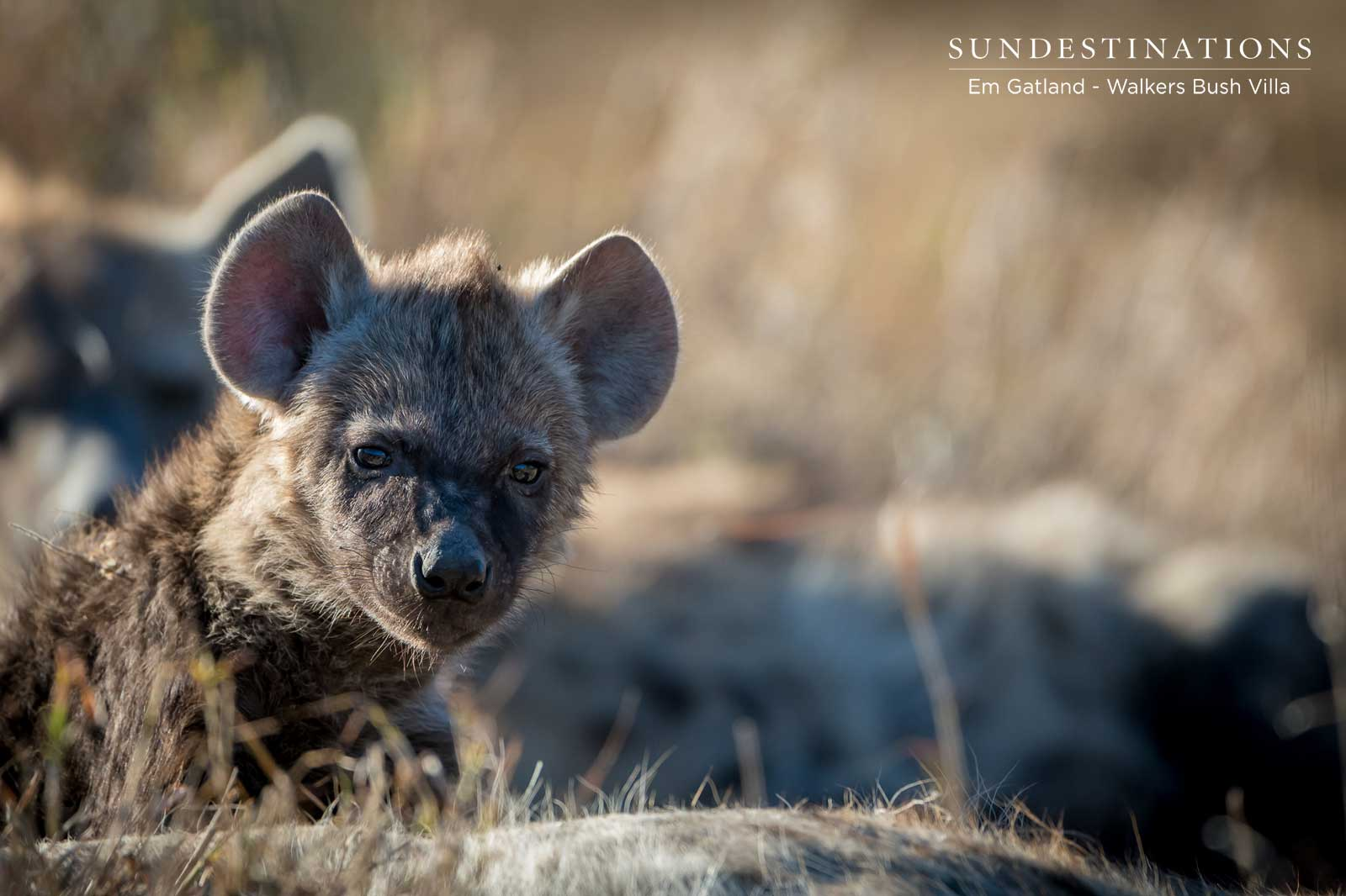 We Found Cute Hyena Cubs While on Drive with Walkers Bush Villa