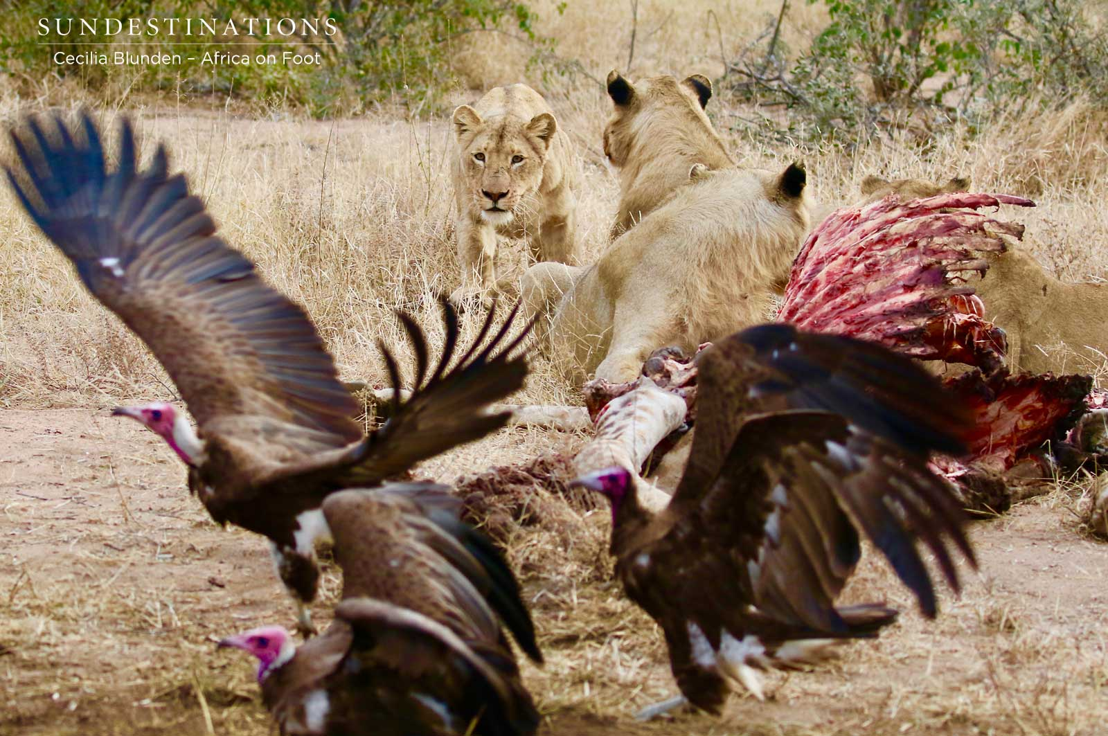 Skittish Lions Feast on Giraffe Kill for Days