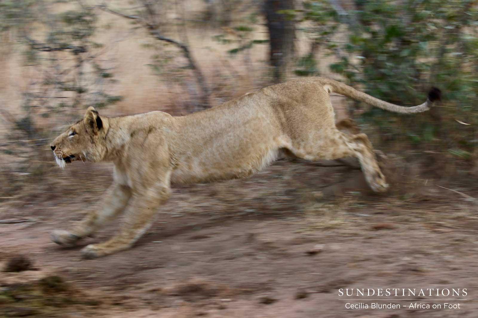 Lions in Klaserie