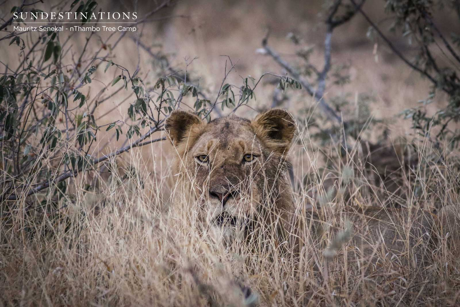 Skittish Lions Feast on Giraffe Kill for Days