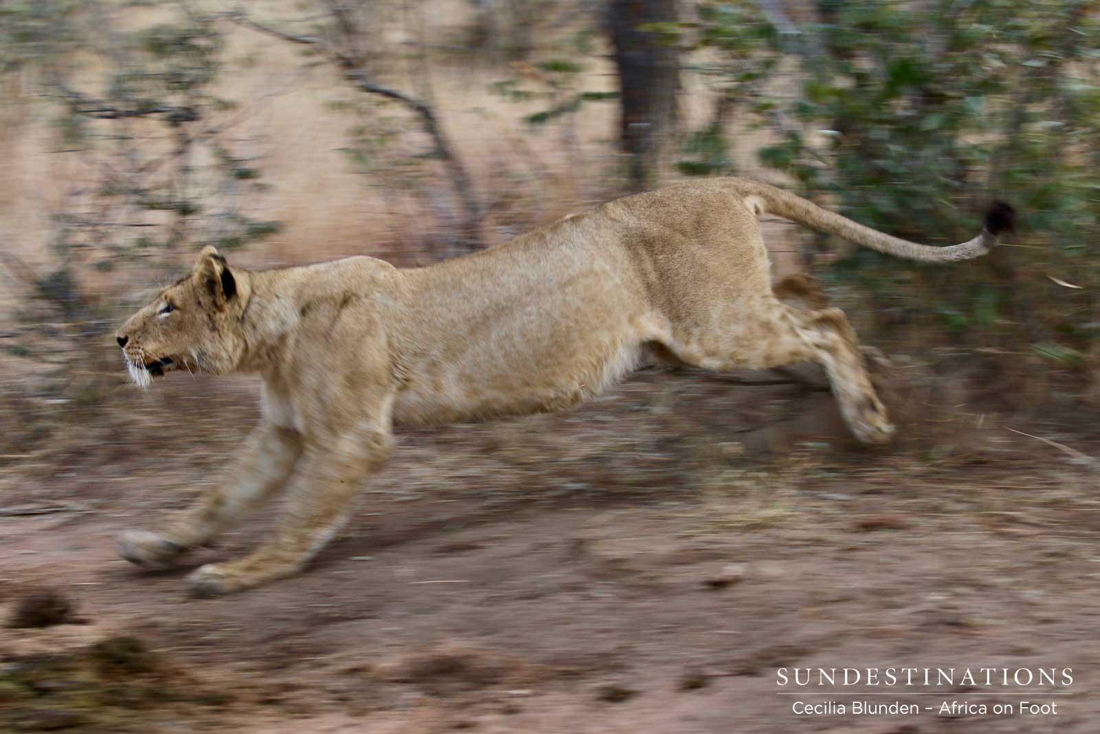 Jumping Lion in Klaserie