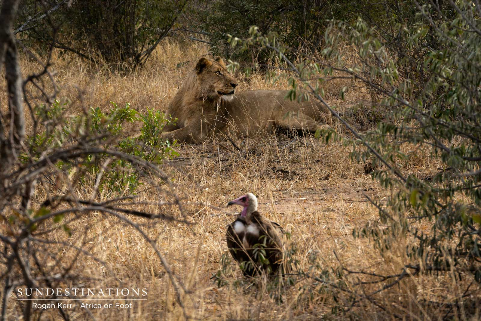 Hooded Vulture with Lion
