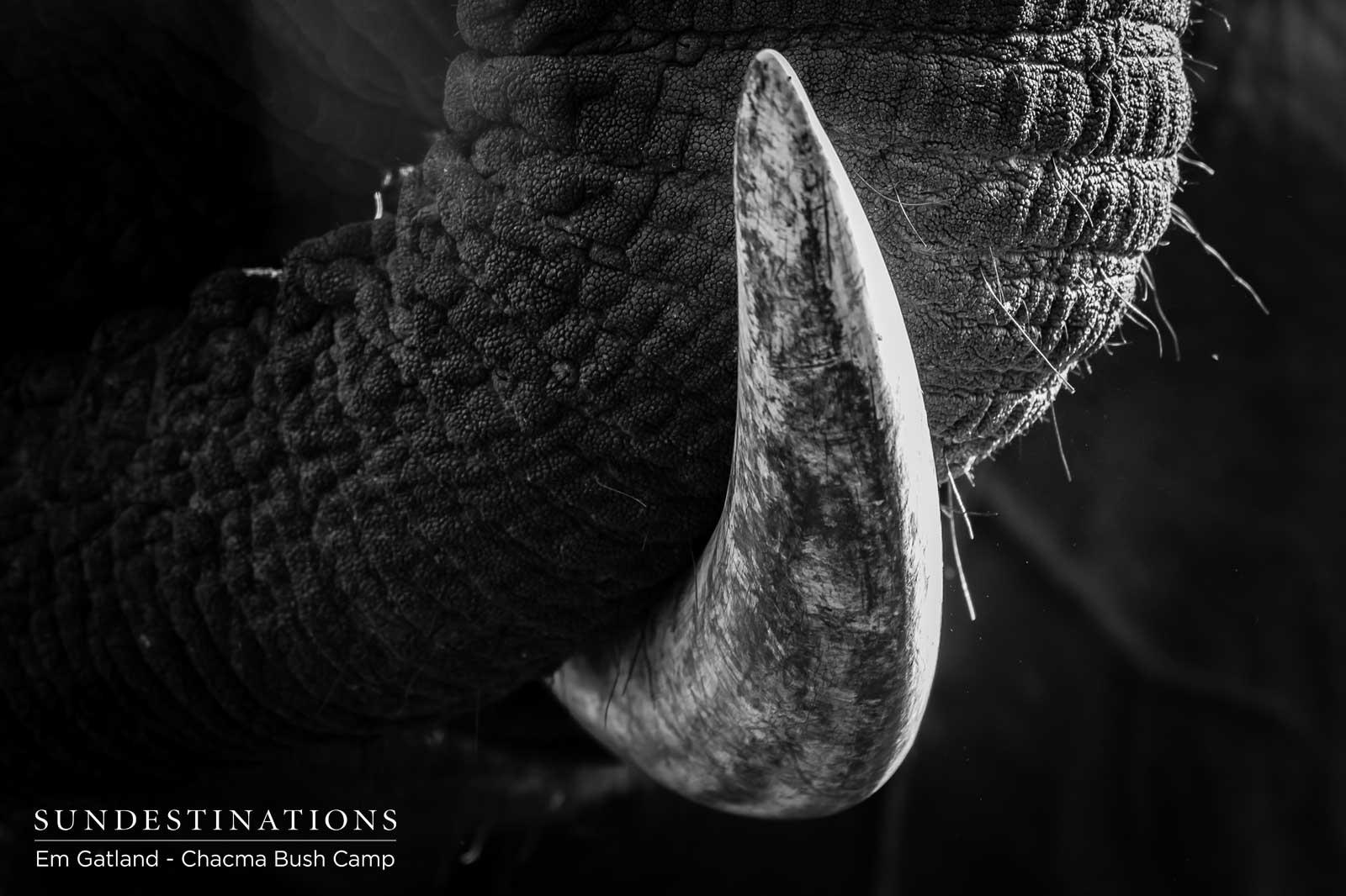 Chacma Elephant Trunk