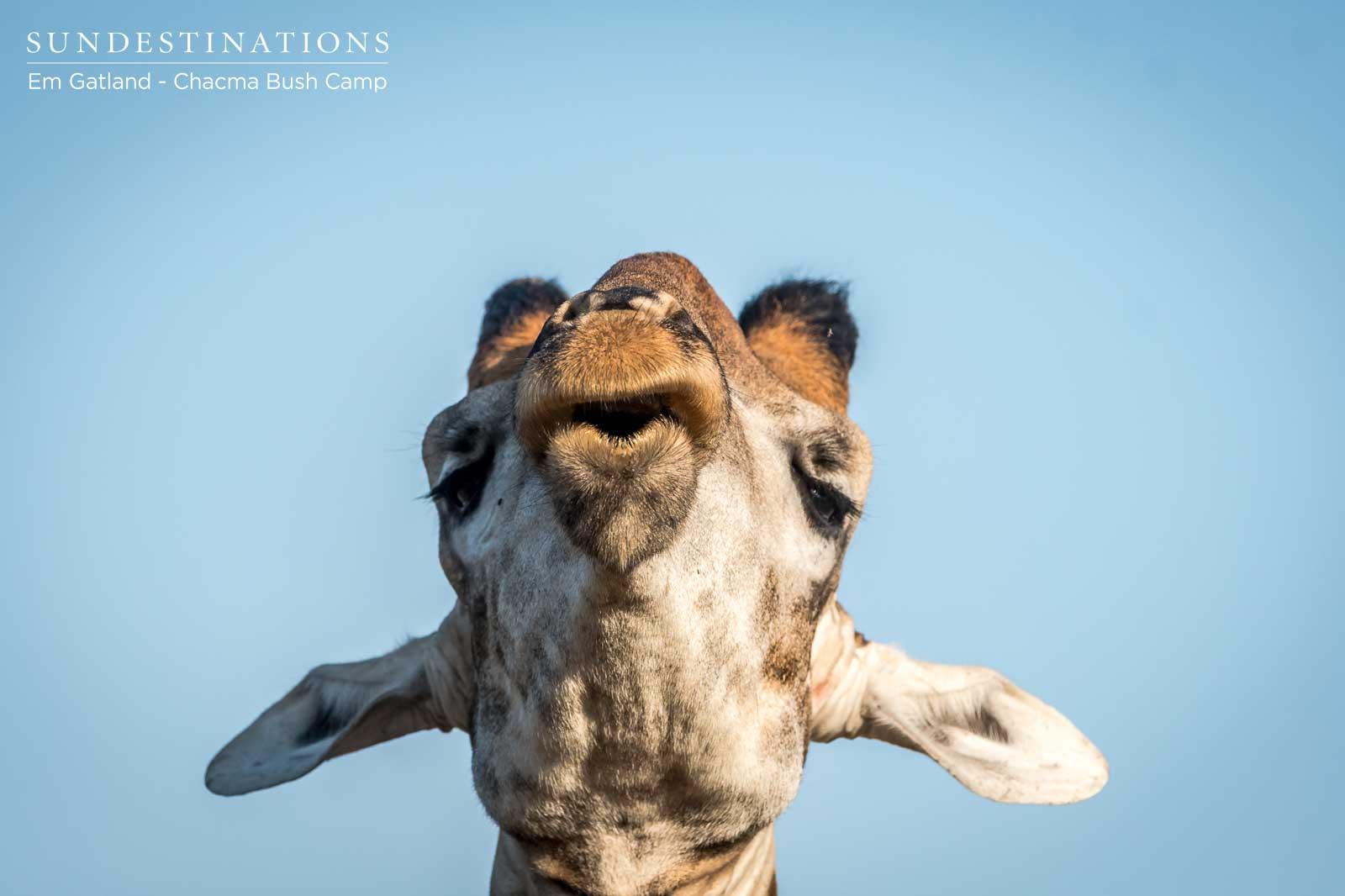 Giraffe Spotted at Chacma Bush Camp