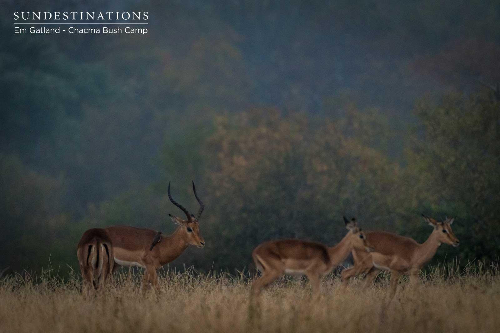 Impala Rams Chacma