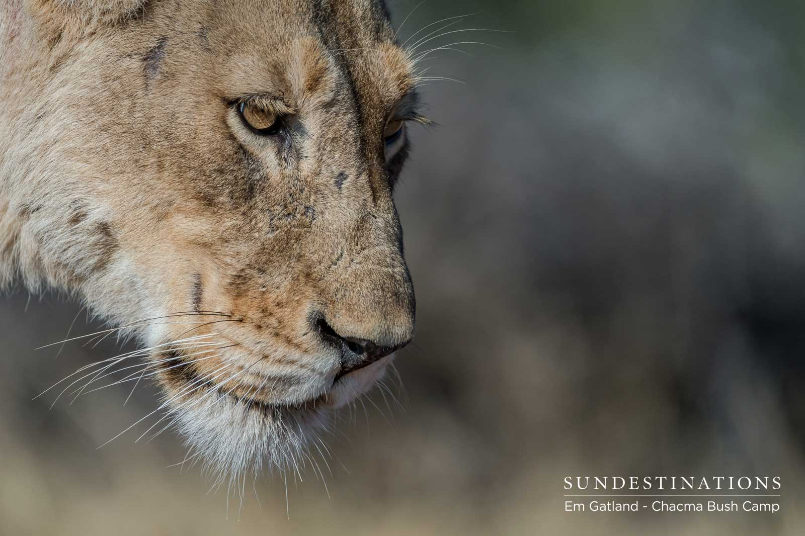 Lioness at Chacma Bush Camp
