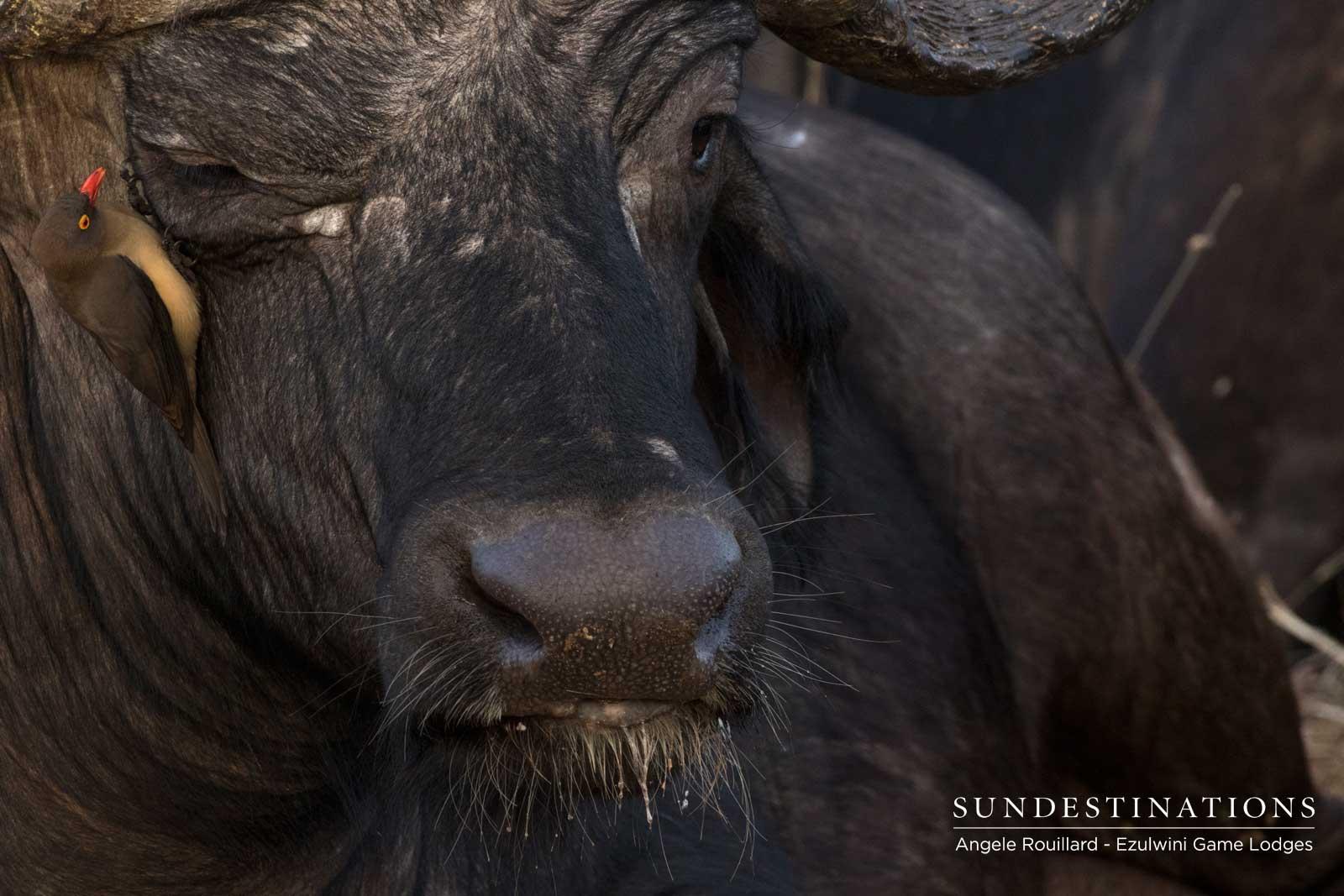 Buffalo Bulls in Ezulwini