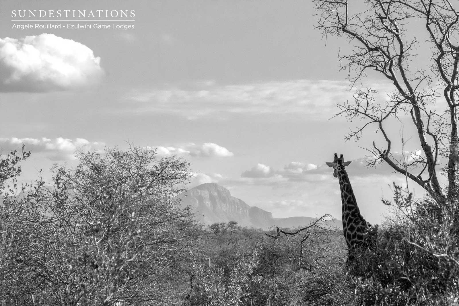 Giraffe at Ezulwini