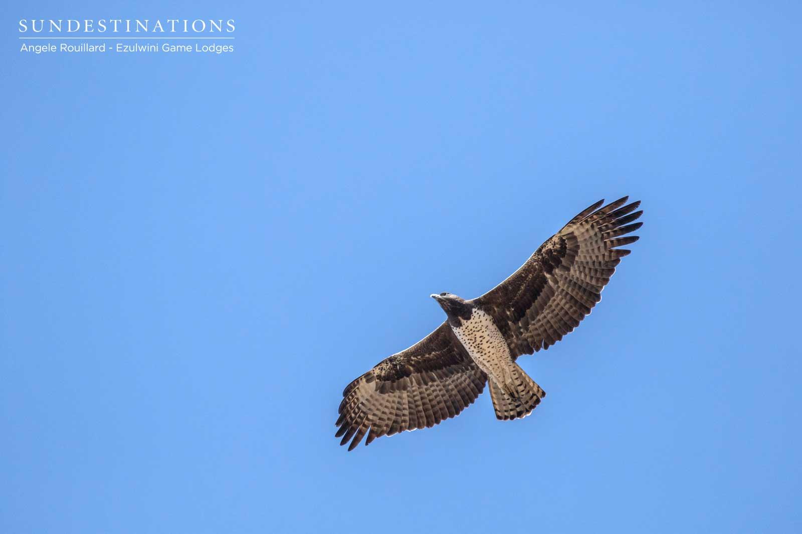 Martial Eagle Ezulwini
