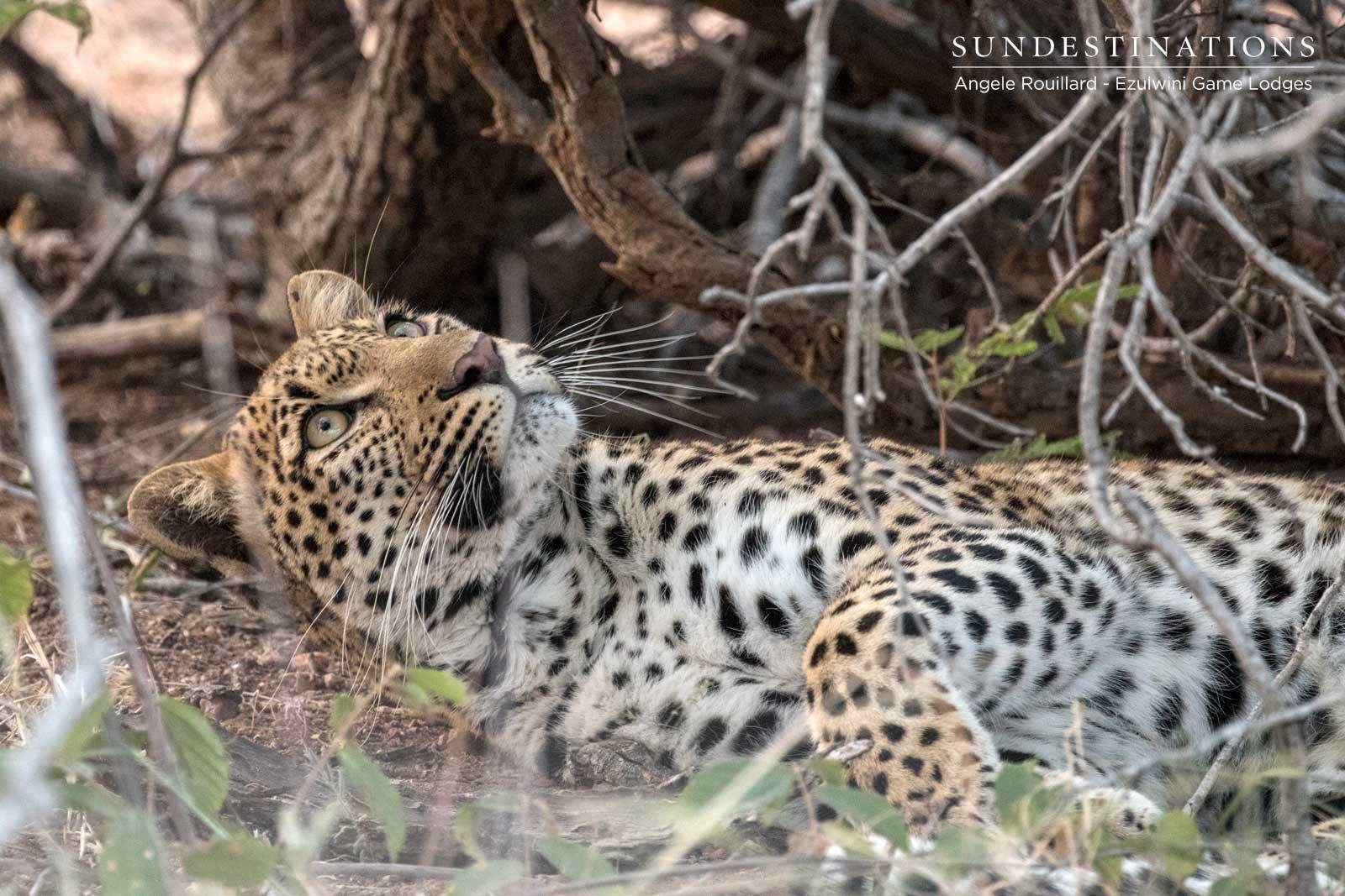 Thuli Leopardess Balule