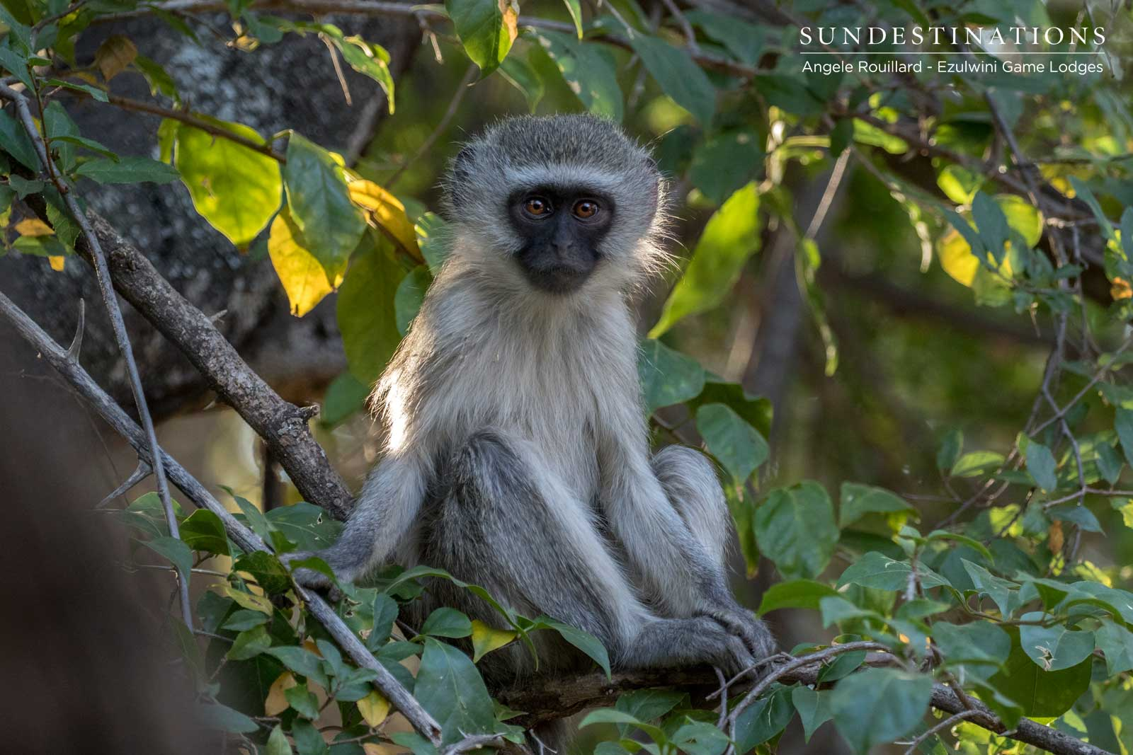 Vervet Monkey Ezulwini Game Lodges