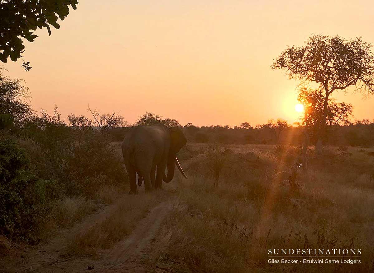 Ezulwini Elephant at Sunset