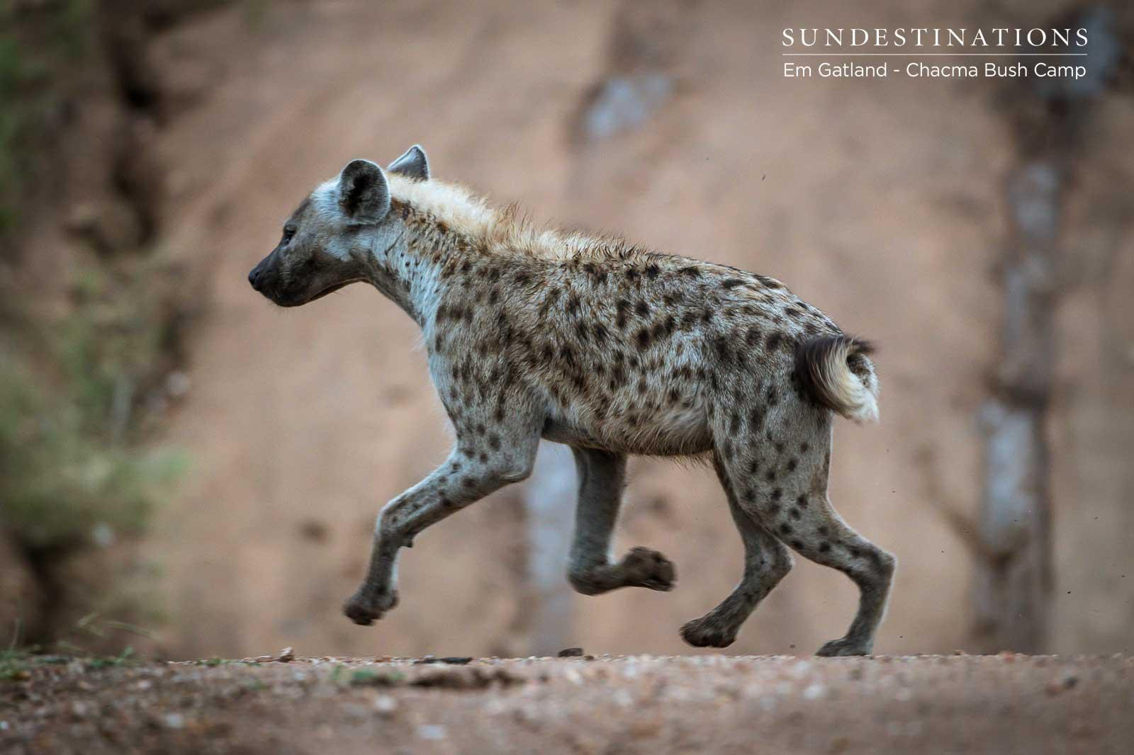 Hyena in Maseke Game Reserve