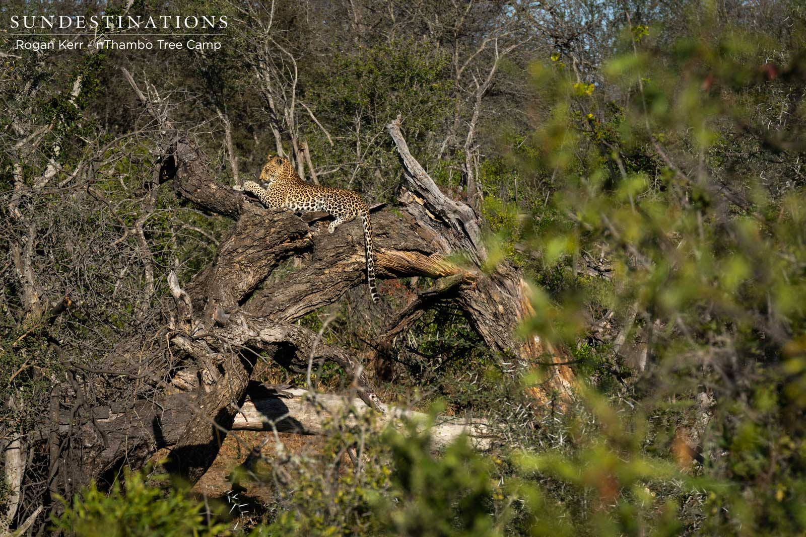 Leopard in Tree at nThambo Tree Camp