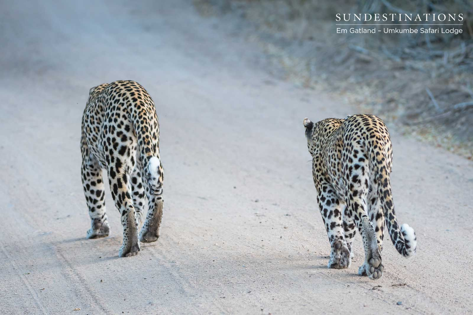 Leopard Duo at Umkumbe