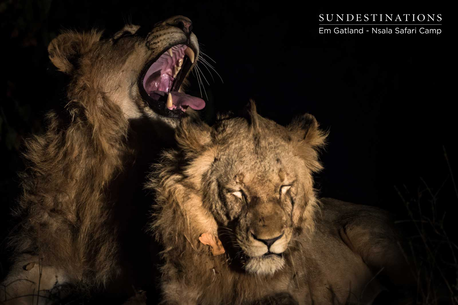 Western Pride of Lions