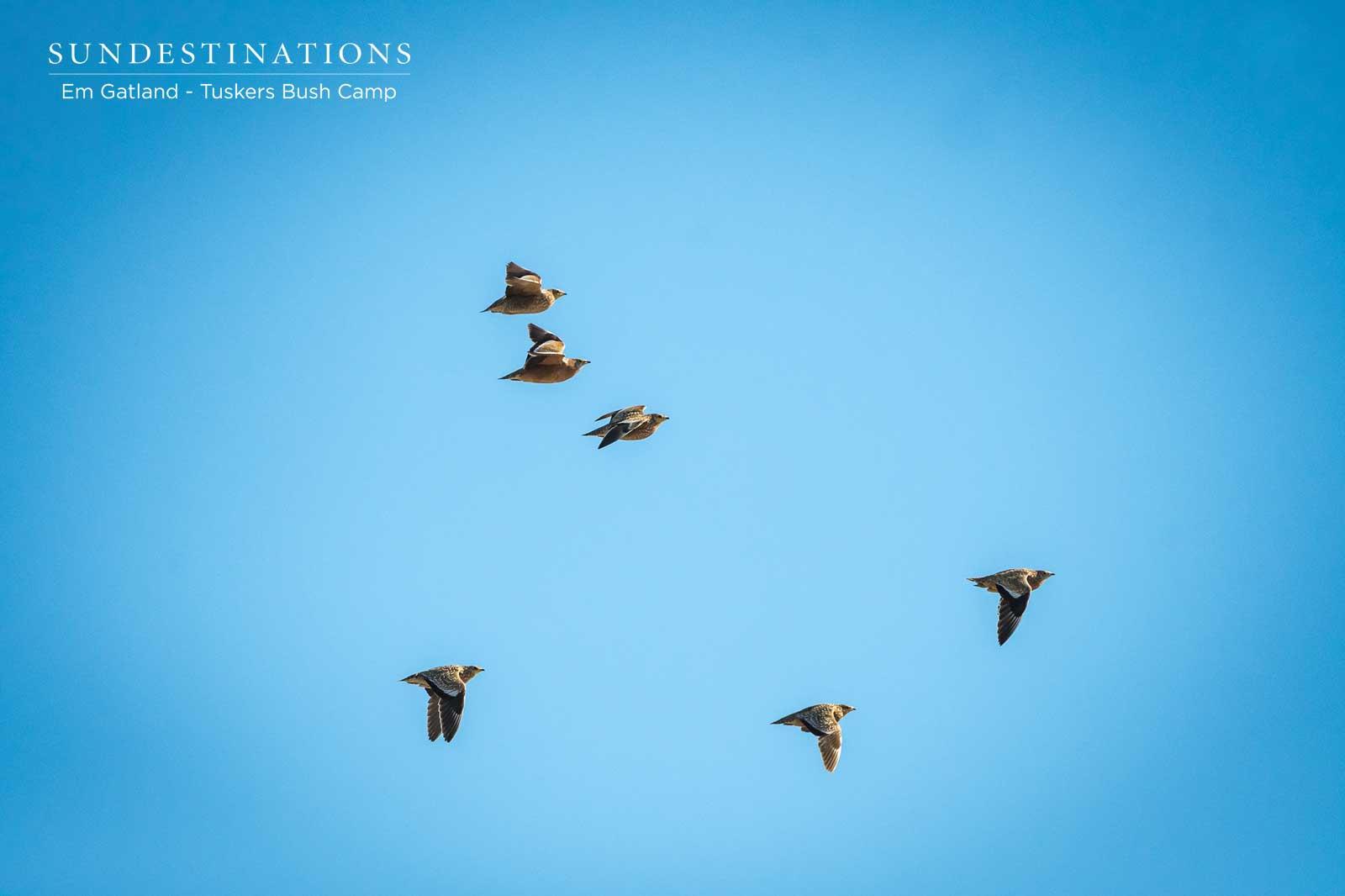 Burchell's Sandgrouse in Flight