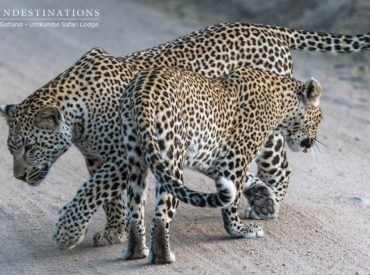 Leopards are aloof, scarce, graceful and independent. They lead a solitary lifestyle, and they're rarely seen keeping company with other leopards. When we see 2 or more leopards hanging out together, it's either a mother with her youngsters, or a mating pair. Seeing a leopard in the wild is always a heart stopping moment and […]