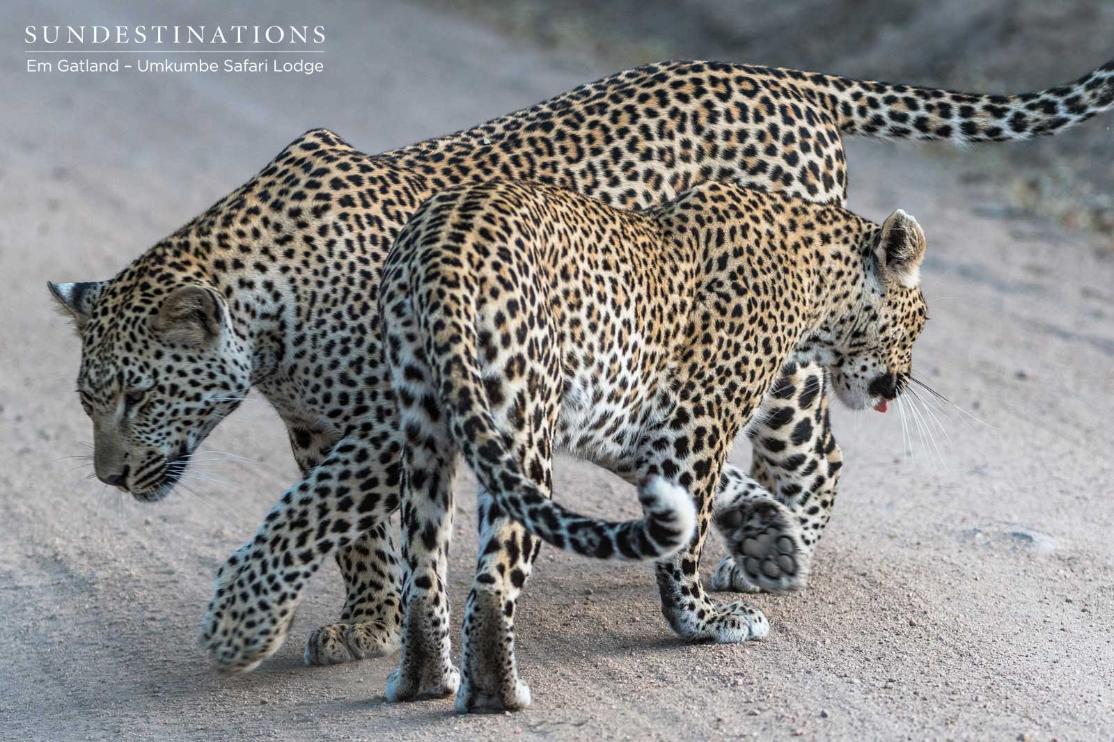 The Week in Pictures : Leap of Leopards. Your Bumper Edition.
