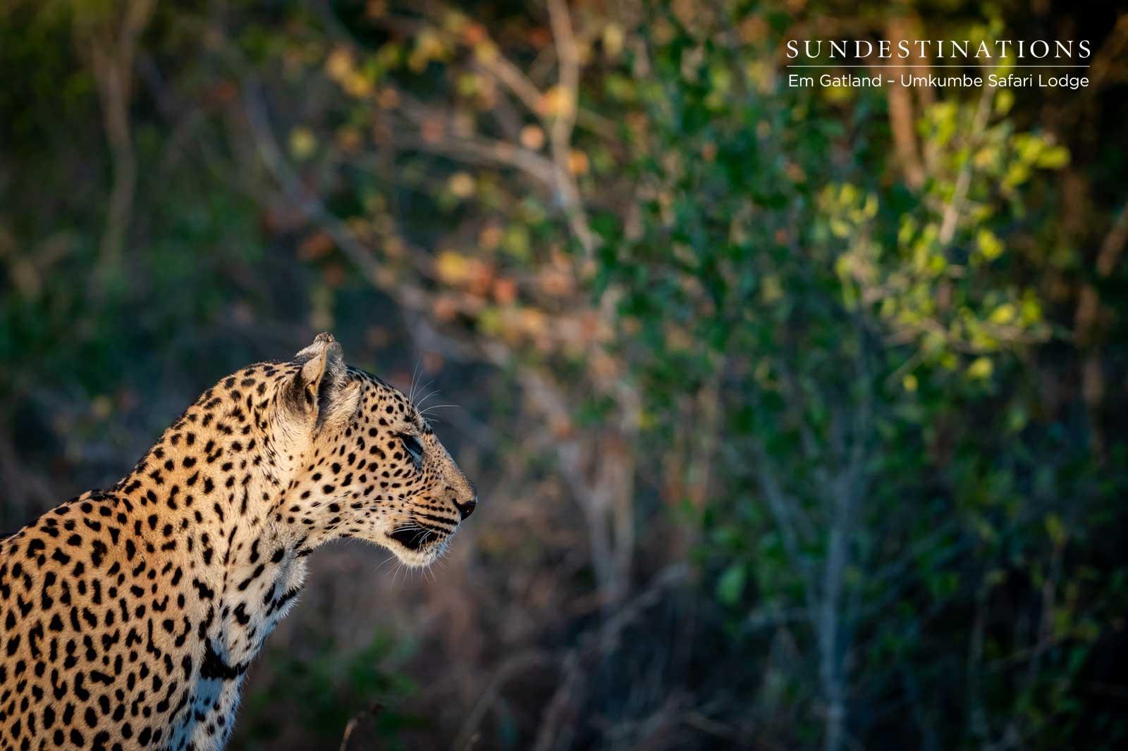 Leopards at Umkumbe Safari Lodge