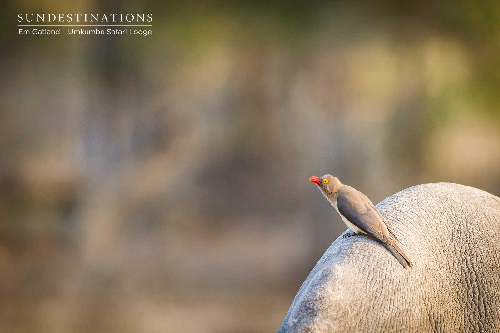 Oxpecker on Wildlife