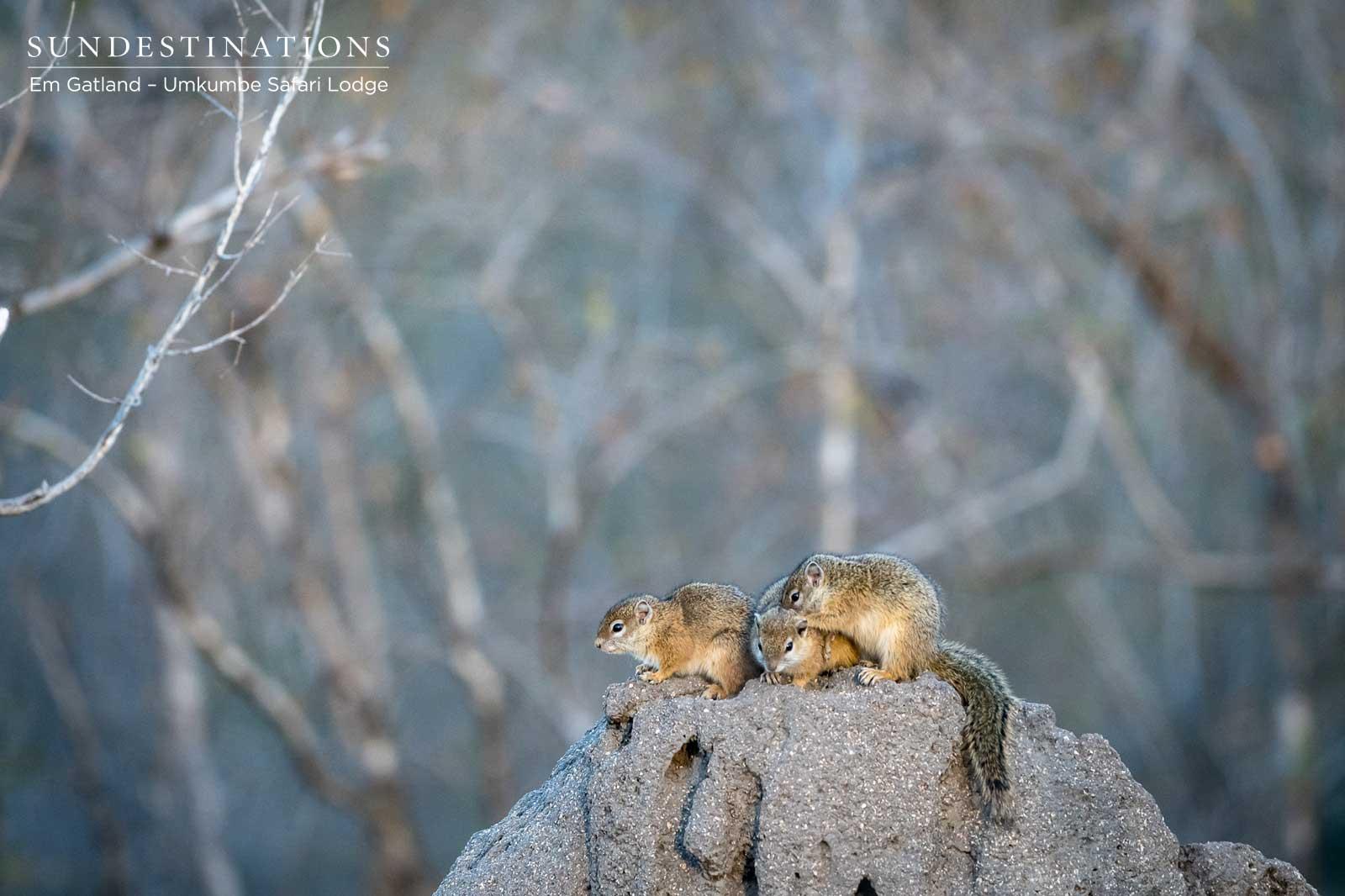 Umkumbe Ground Squirrel