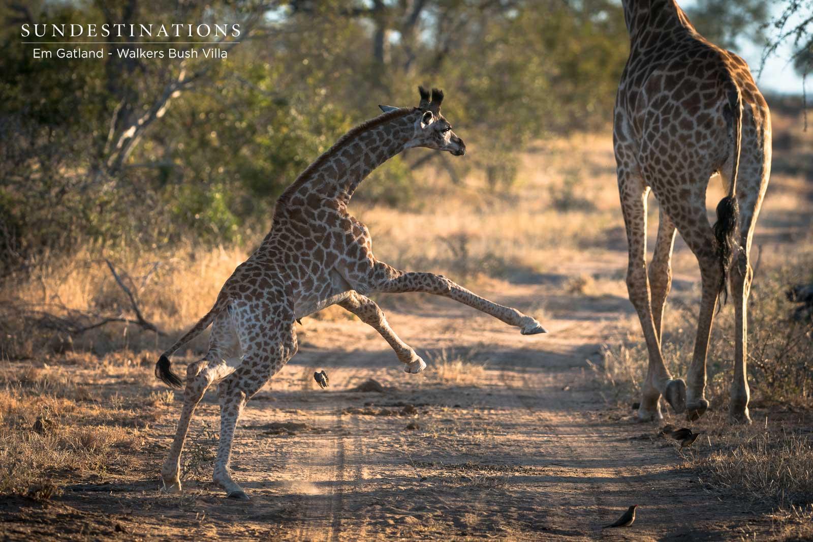 Walkers Bush Villa Giraffe