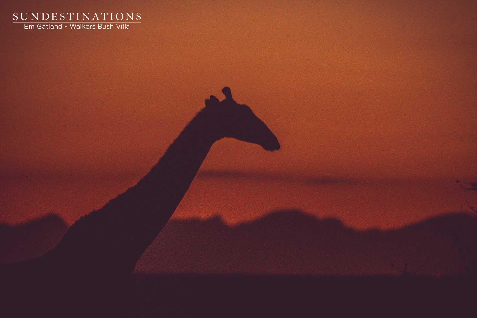 Giraffe at Sunset Walkers Bush Villa
