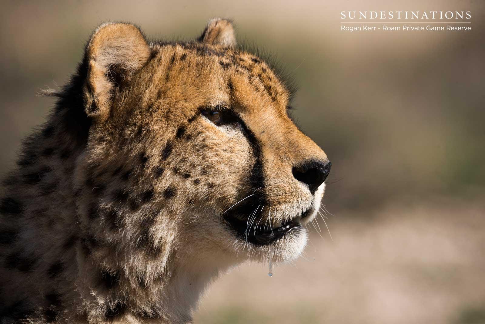 Cheetah at Roam Reserve