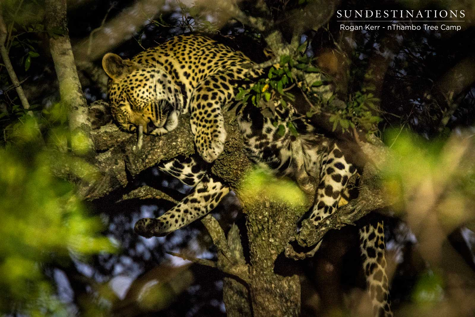 Week in Pictures : Leopards in the Spotlight