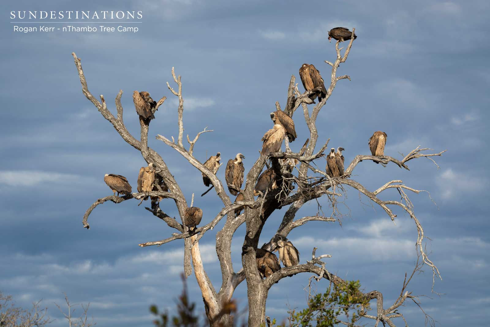 Wake of Vultures nThambo Tree Camp