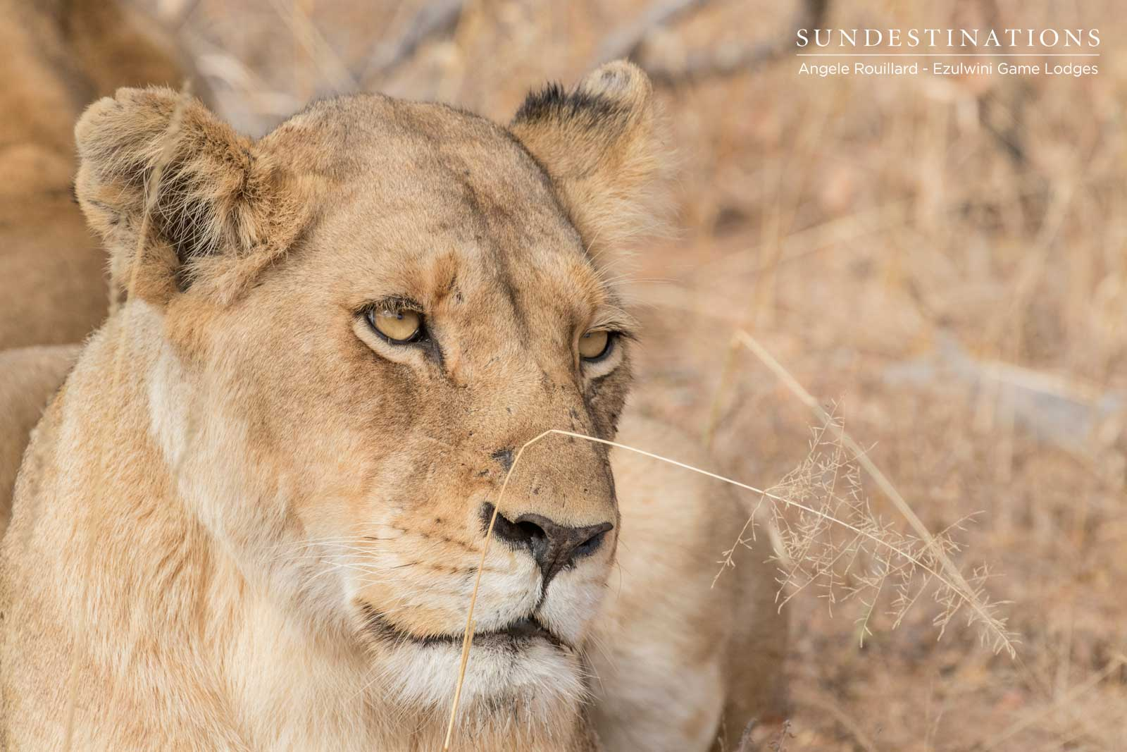 Lioness in Balule Nature Reserve