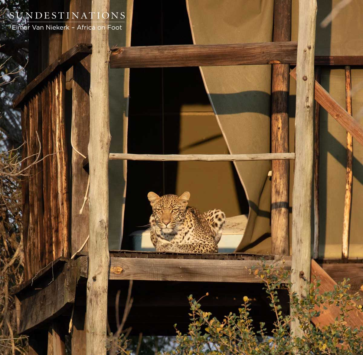Klaserie Leopard Relaxes on the Wooden Deck of Buffel Dam Treehouse