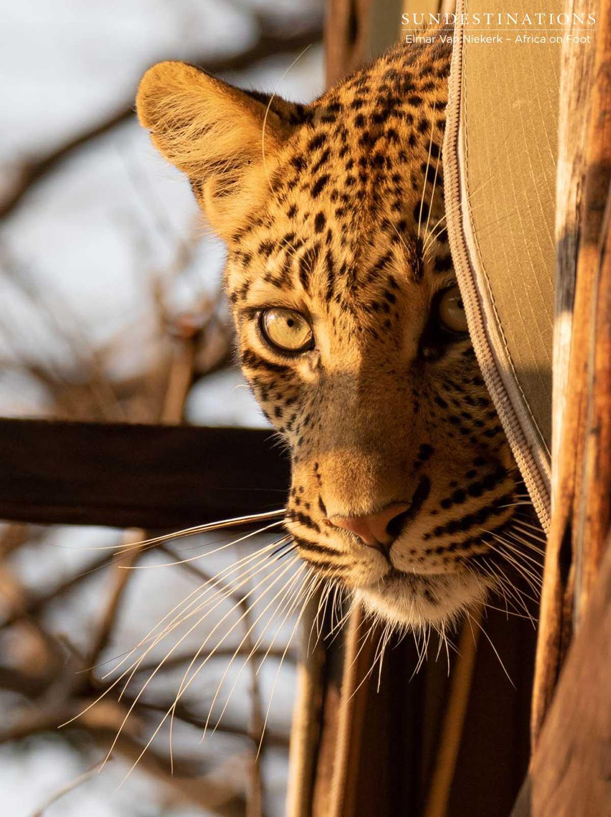 Leopard at Buffel Dam