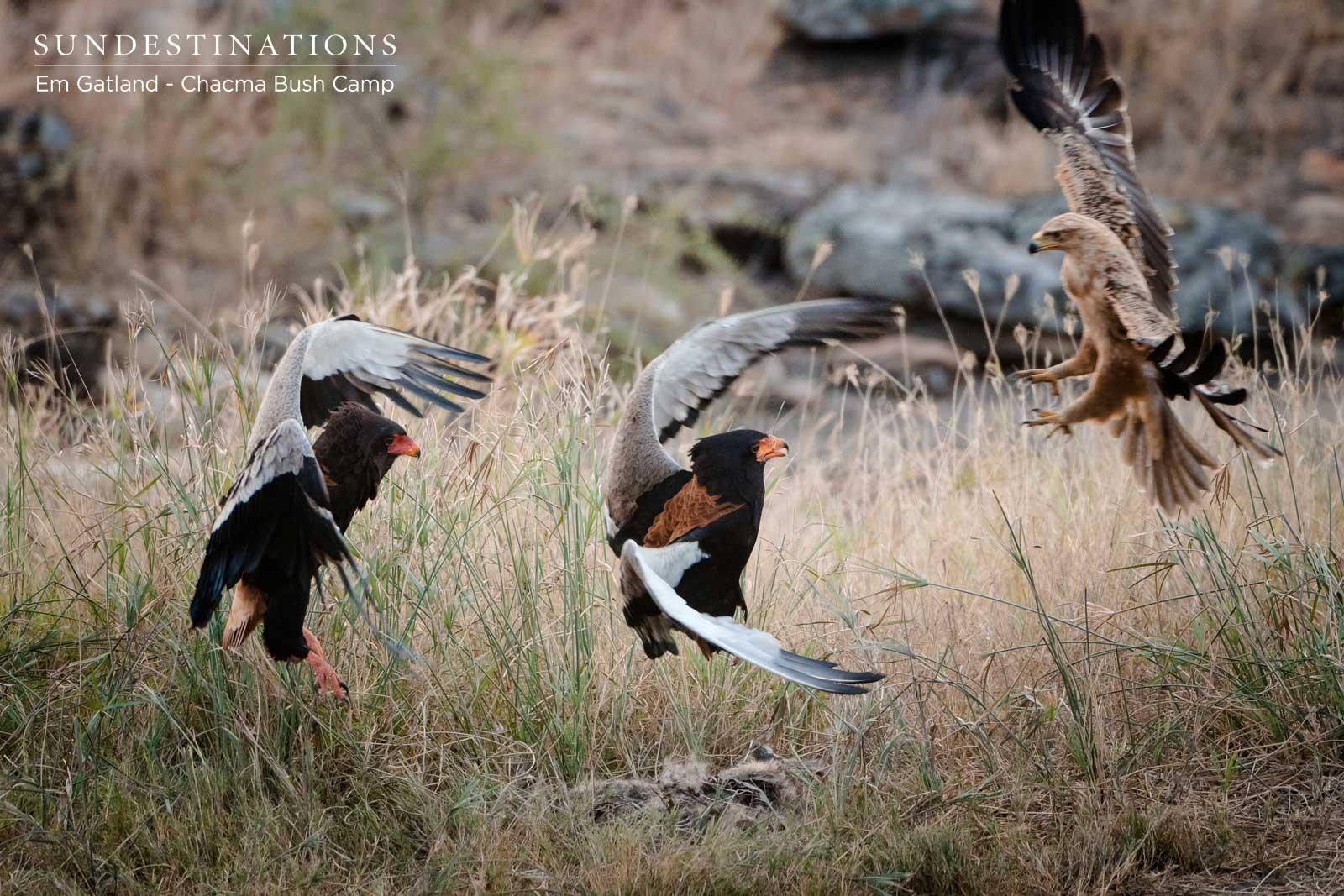 Bateleur Eagles Mid-flight