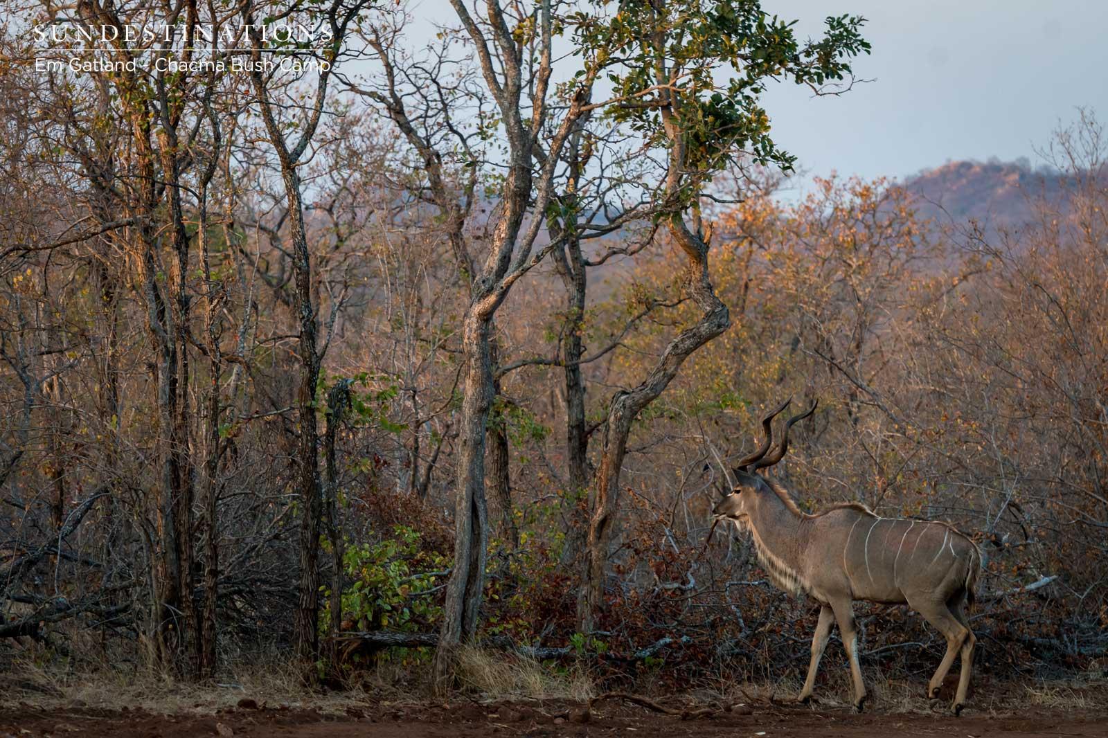 Chacma Kudu Bull