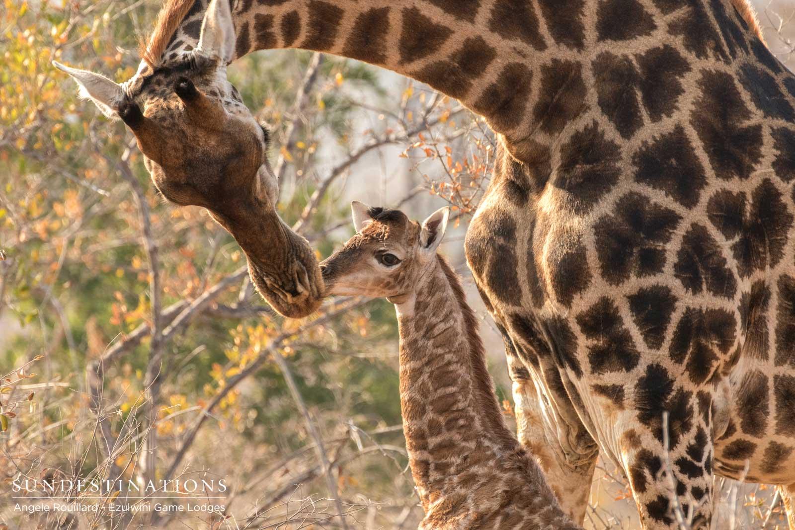 Giraffe Calf Balule