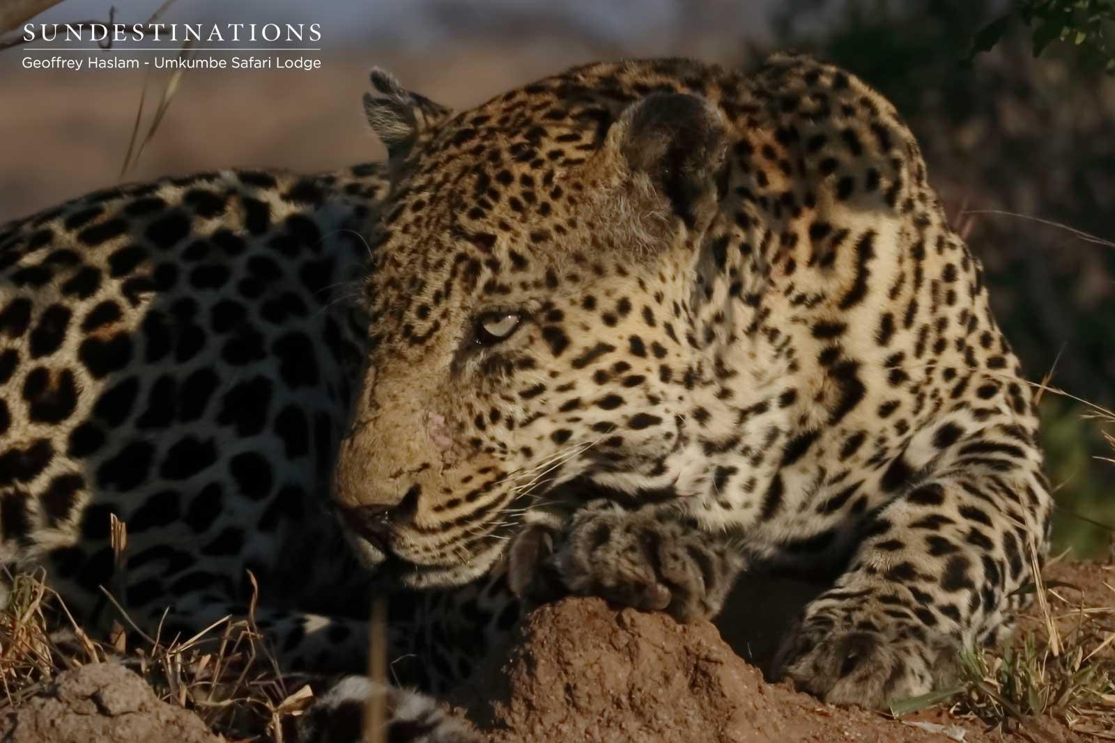 Kashan the Leopard - Umkumbe