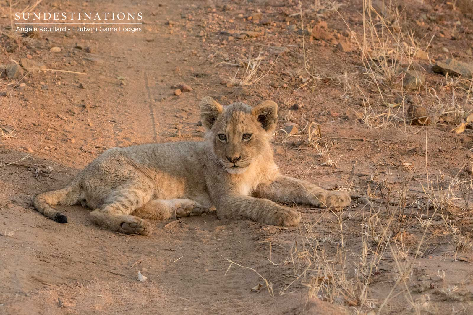 10 Lion Cubs Spotted While on Game Drive with Ezulwini