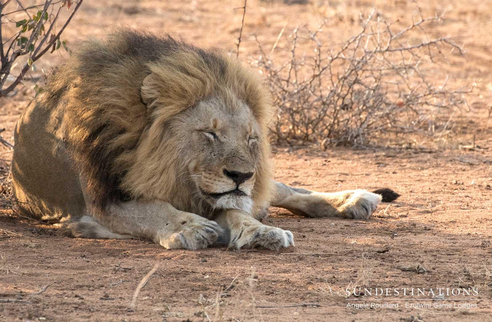 Machaton Male Lion in Balule