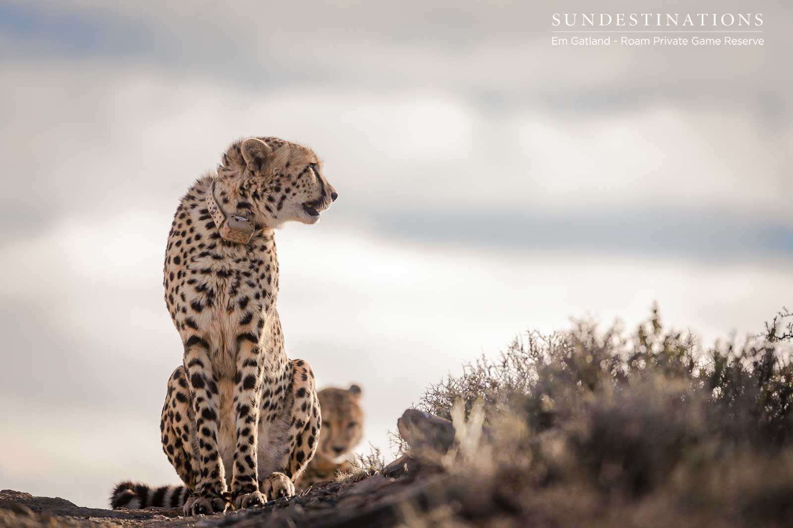 Roam Reserve Cheetah