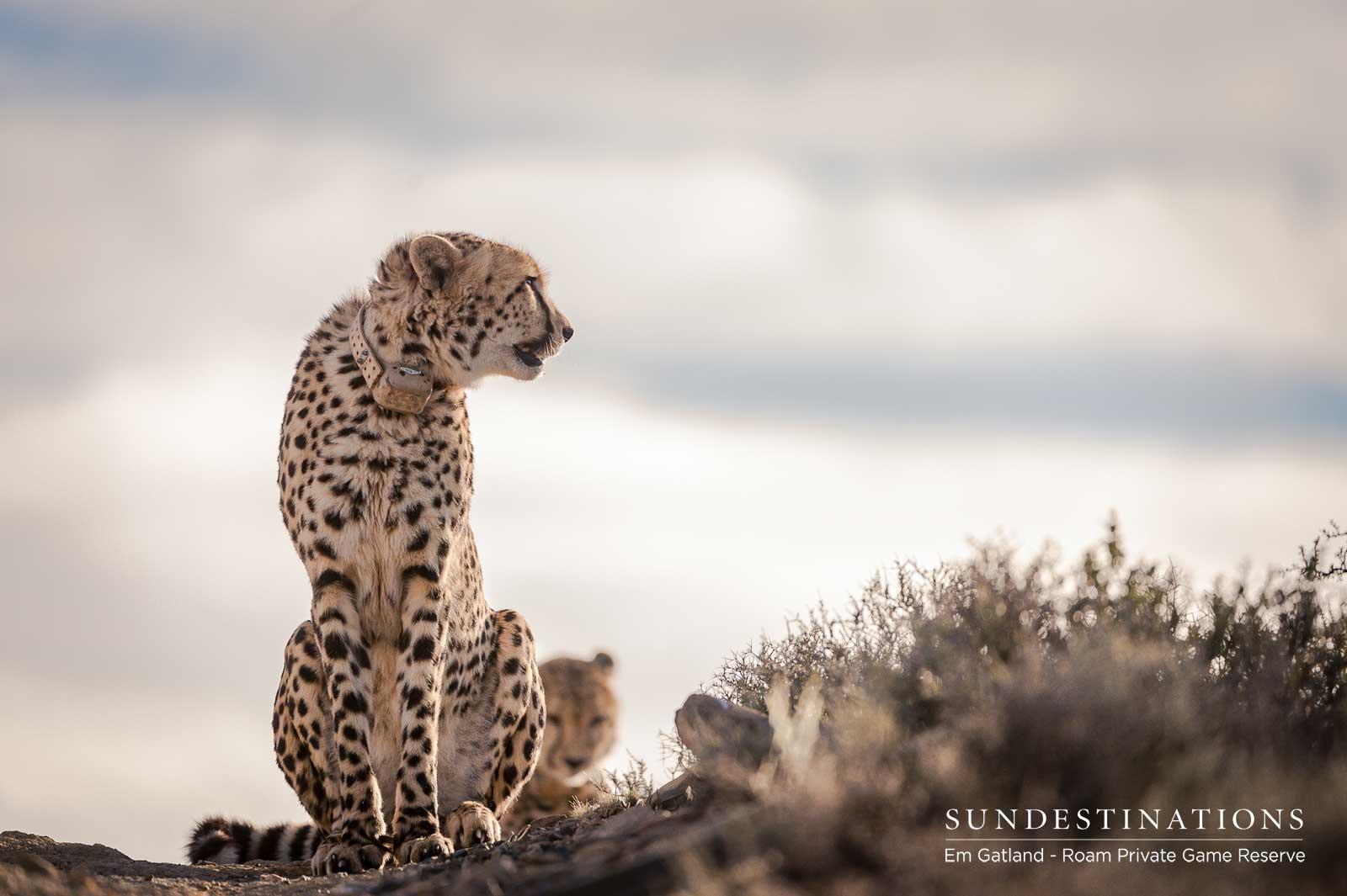 Roam Cheetah Experience