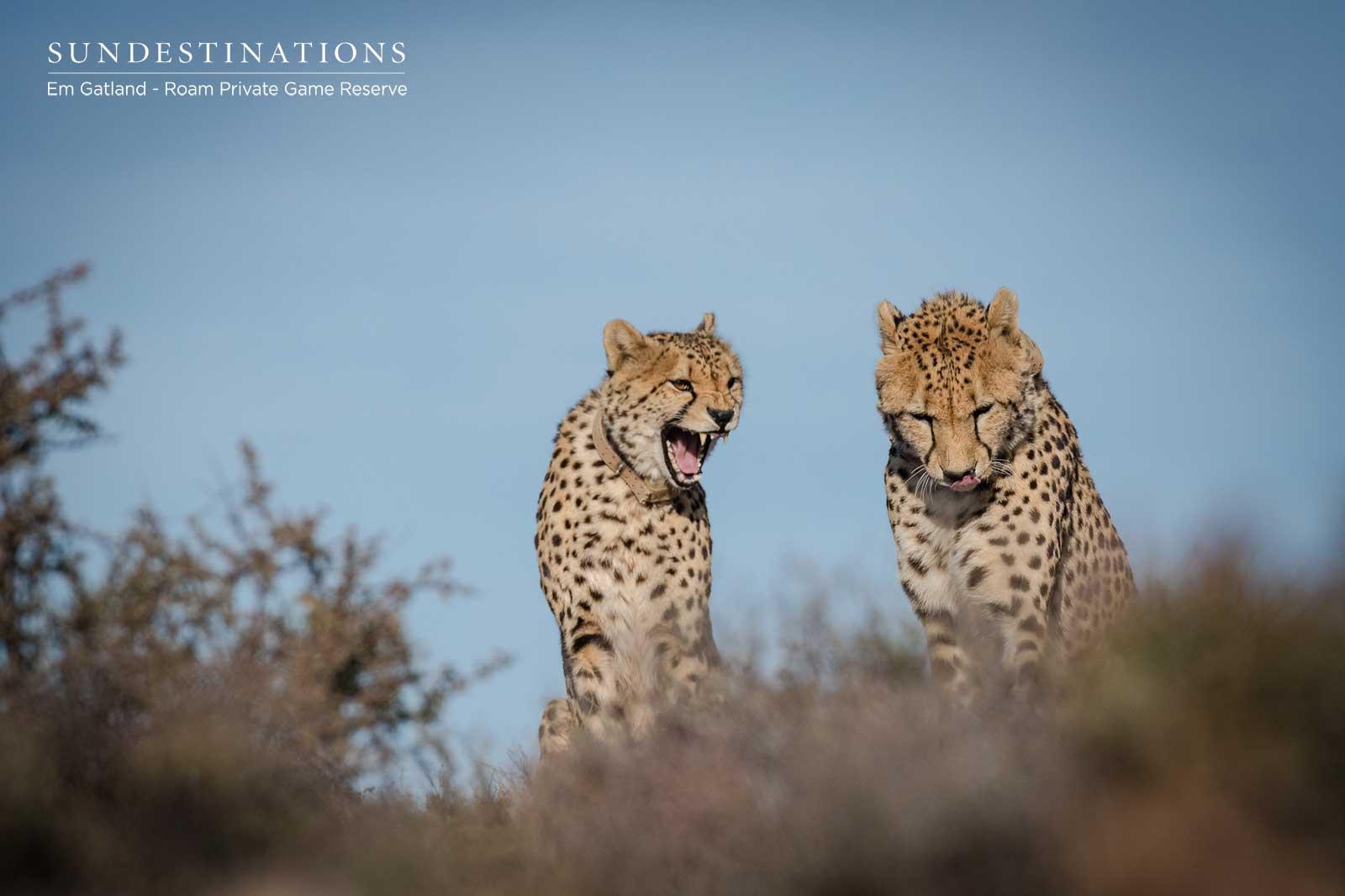 Cheetah Coalition in the Karoo