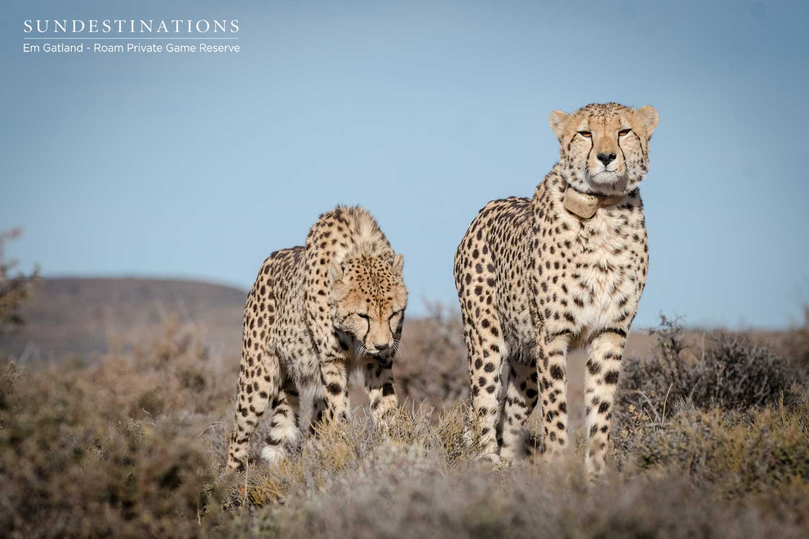 Big Cats in the Great Karoo